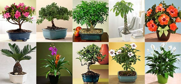 Proflowers Bonsai Gift Selections Review @EclecticEveryday