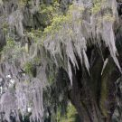 Beautiful Spanish Moss In Airlie Gardens @EclecticEveryday