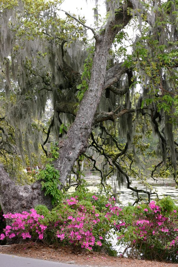 Beautiful Spanish Moss In Airlie Gardens by EclecticRecipes.com #recipe