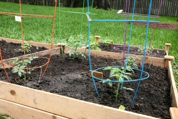 tomato plants with growing cages