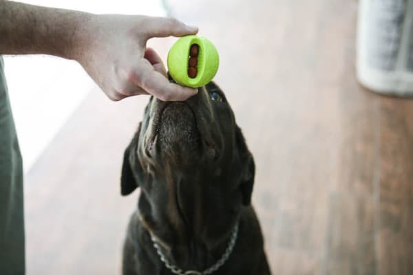 dog trying to get food out of ball