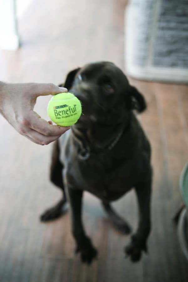 holding tennis ball in front of dog
