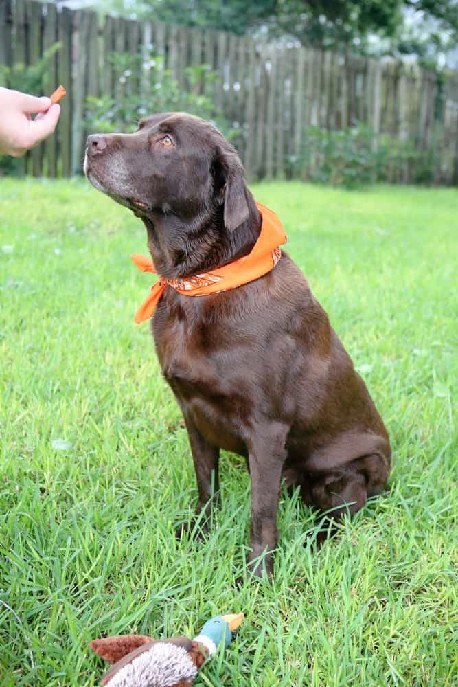 dog sitting for dog treat chocolate lab orange scarf