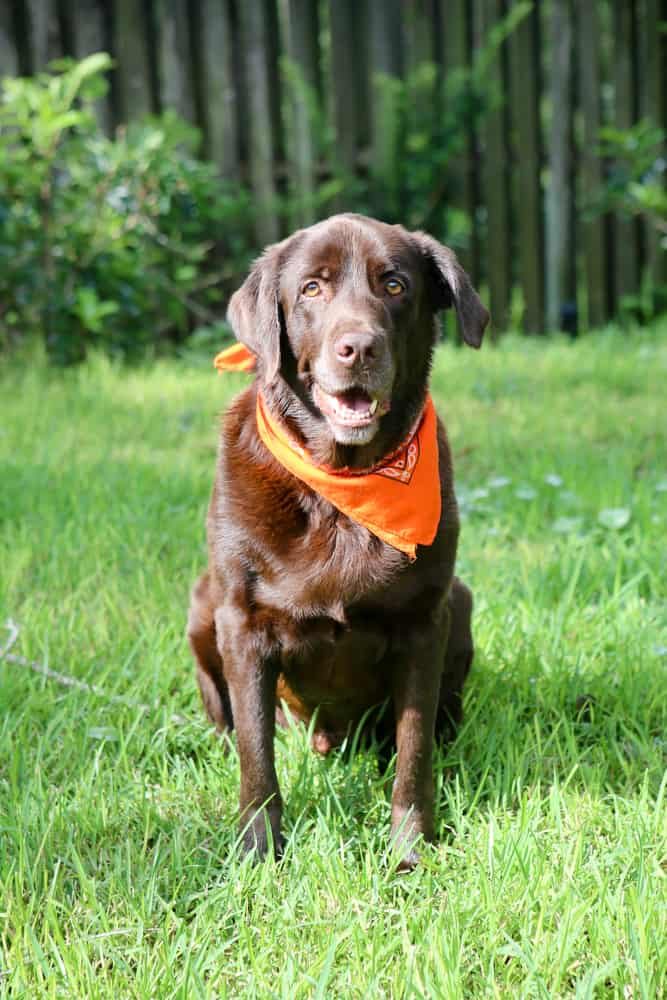 brown Labrador with orange scarf