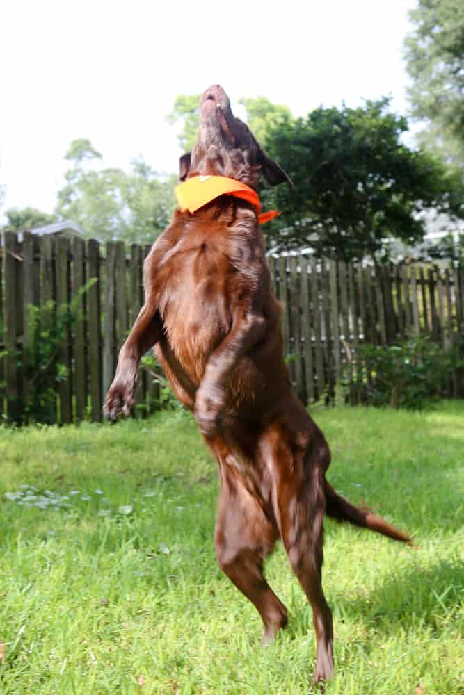 jumping chocolate labrador orange scarf