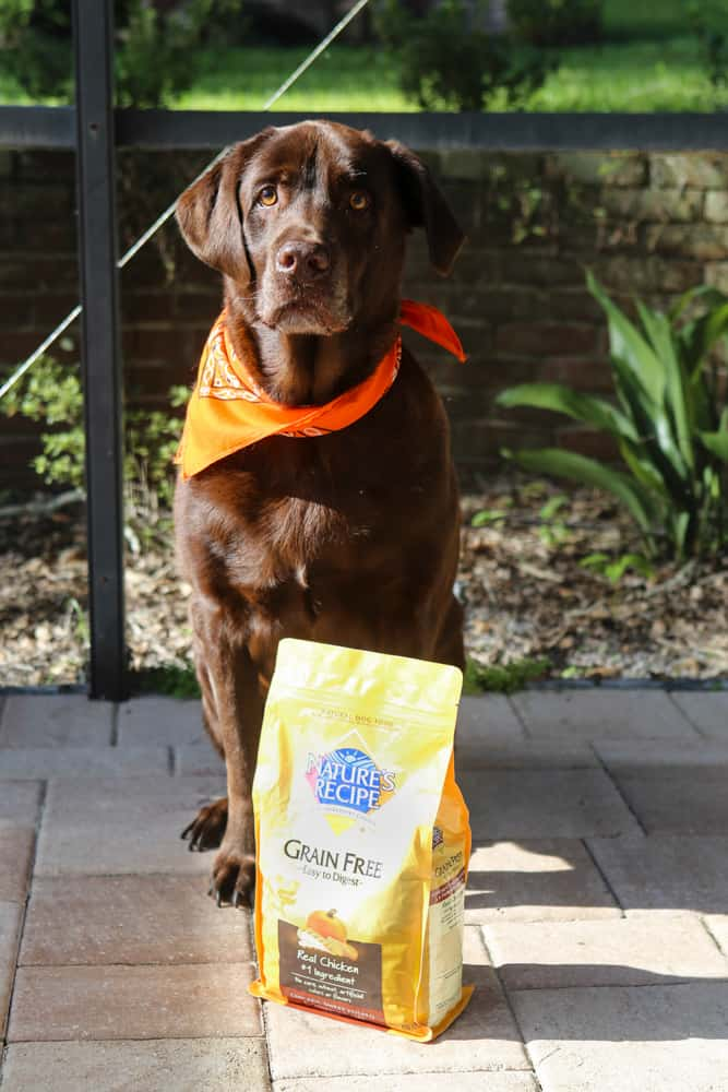 coco standing in front of yellow dog food bag looking at camera