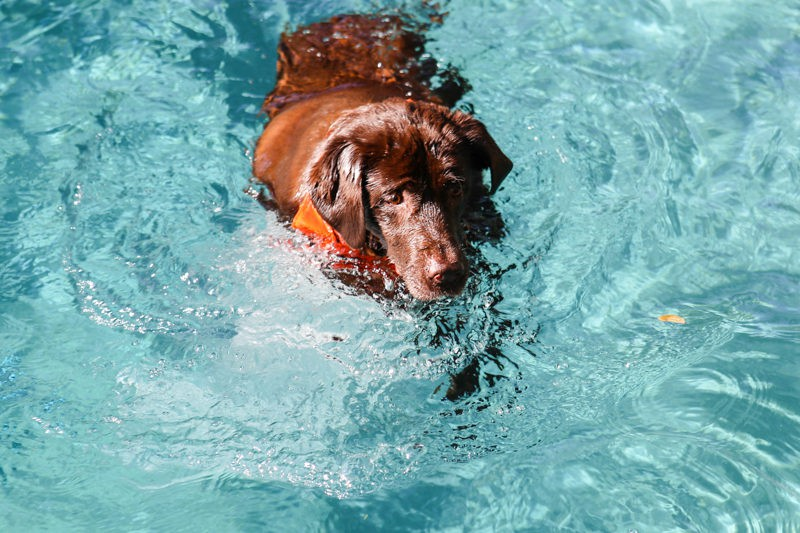 coco swimming towards treat